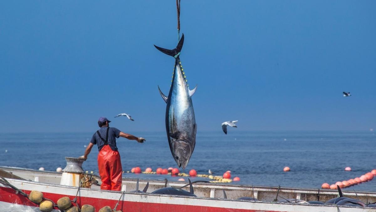 Atún rojo, joya gastronómica de Cádiz